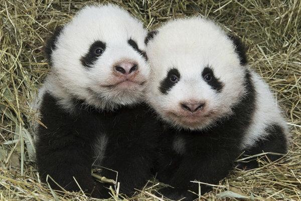 Pandí samec sa pričinil o viac ako sto potomkov.