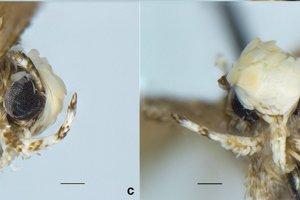 Holotyp Neopalpa donaldtrumpi. Pohľad zboku äc) a pohľad spredu (d).