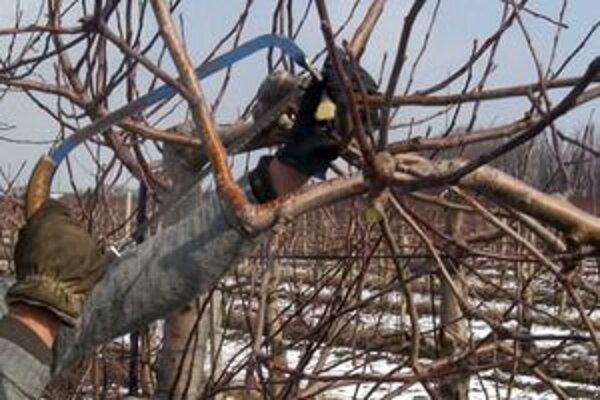 Orezávanie stromčekov má tiež svoje pravidlá. Vravia to skúsení ovocinári.