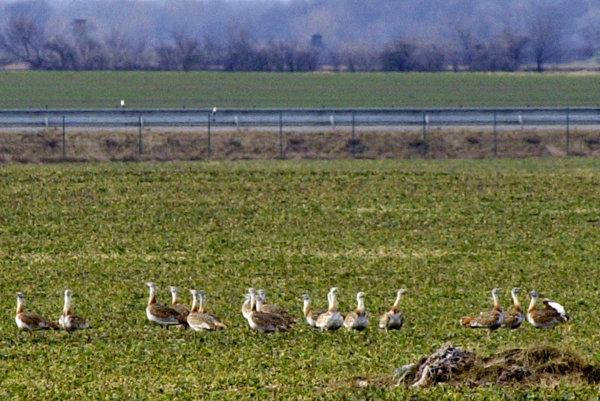 Populácia Dropa veľkého, impozantného vtáka dosahujúceho váhy až 22 kg.