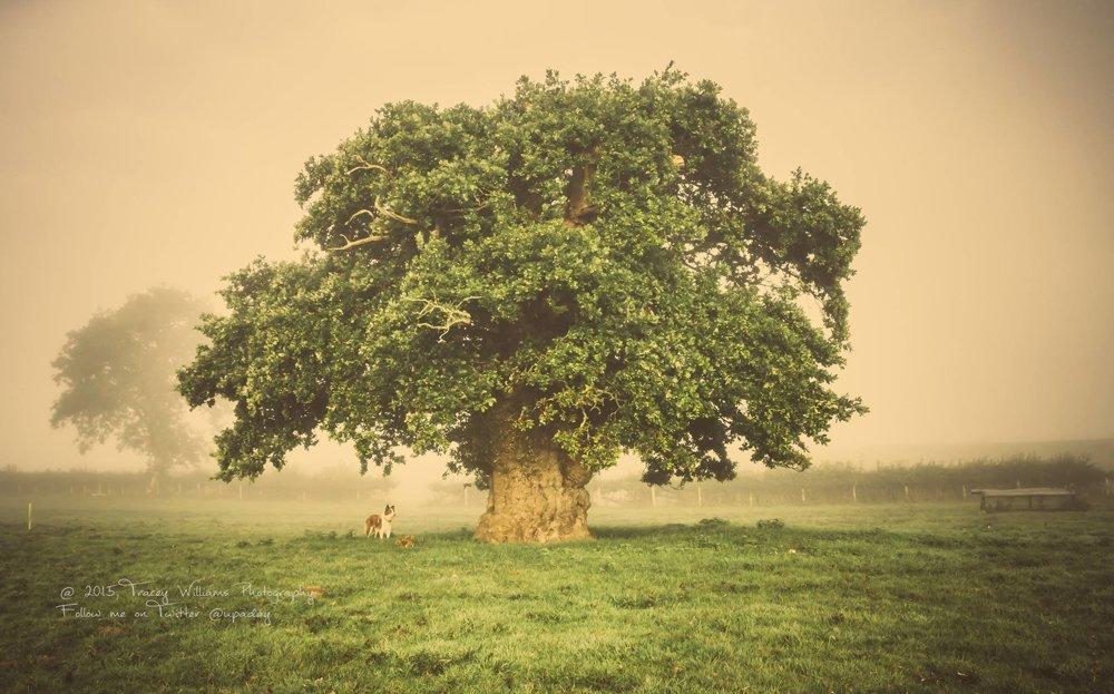 """Brimmonský dub, Wales, Spojené kráľovstvo, vyše 500 rokov Tento prastarý dub môže mať viac ako päťsto rokov. Už generácie sa oň stará jedna rodina. Pod jeho širokou korunou stáli svadobčania pri slávnostnom fotení už v roku 1901. V roku 2015 hrozil stromu zánik pre výstavbu nového obchvatu. Mervyn Jones, ktorý má farmu na mieste, kde strom rastie, spoločne s """"lovcom stromov"""" Robom McBridom nazbierali päťtisíc podpisov pod petíciu na záchranu stromu. Poslali ju Waleskému parlamentu a zaslúžili sa tým o zmenu trasy obchvatu a záchranu stromu."""