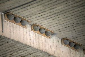 Členovia športového klubu IAMES Bratislava osadili 18 umelých trojhniezd a 3 dvojhniezda pre belorítky pod Mostom SNP.