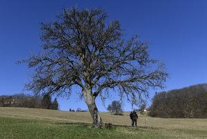 Na snímke hruška ružovka z Bošáce, ktorá sa stala Stromom roka 2016 a v medzinárodnej súťaži o najkrajší strom Európy obsadila v roku 2016 tretie miesto.