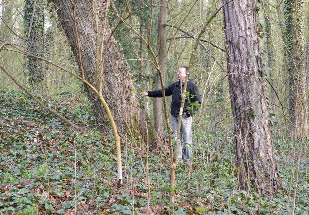 """Správca parku Radovan Roxer. Strom pri """"Muničáku"""" sa taktiež nebezpečne nakláňa aohrozuje majetok, ale izdravie okoloidúcich."""