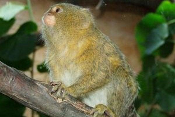 Kosmáč trpaslíčí je najmenšia opica na svete.