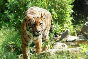 Tiger džungľový sumatriansky žije voľne len na ostrove Sumatra v Indonézii. Ich populácia dosahuje približne 441 až 679 jedincov.
