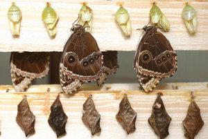 Liahnutie motýľov.