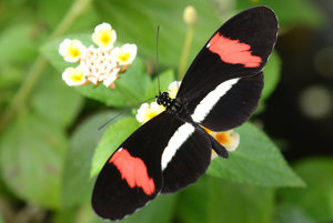 Motýľ heliconius.