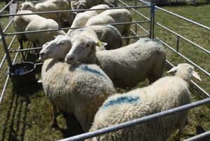 Na snímke nové národné plemeno -  Slovenská dojná ovca.
