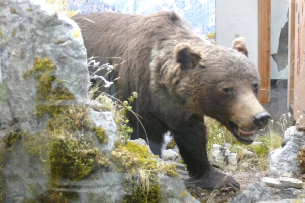 Známa medvedica , ktorú nájdete i v aktuálnej expozícií.
