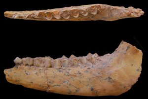 Čeľustná kosť gazely z náleziska v Maroku.
