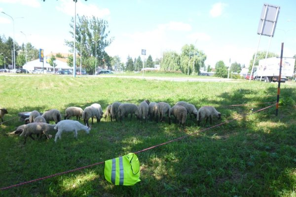 Ovce sa dostali ku kruhovej križovatke.