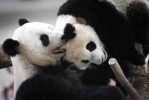 Prinútiť pandy k páreniu v zajatí je ťažké.