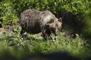 Na snímke medveď hnedý v doline Zadné Meďodoly.