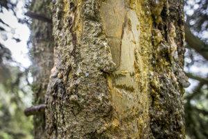 Stopy po medvedích zuboch a pazúroch - medvedí strom.