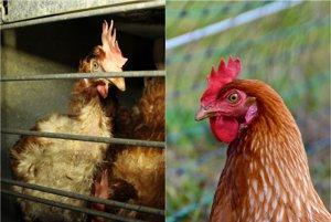 Naľavo je sliepka z klietkového chovu, napravo sliepka z voľného chovu.