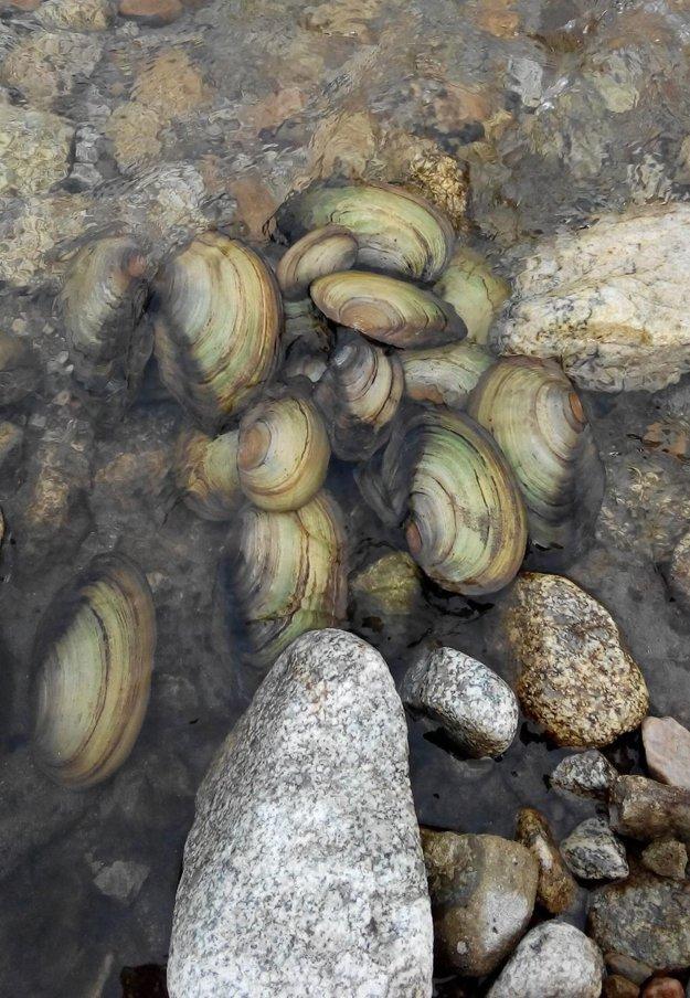 Vo vypustenom kanáli našli škľabku riečnu.
