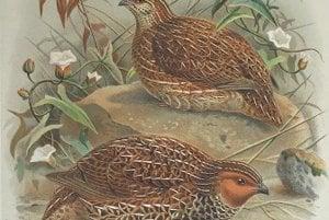 Novozélandská prepelica vyhynula v roku 1875.