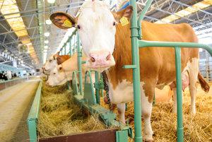 Kravské mlieko. Veľa družstiev zaniklo pre lacnú konkurenciu zo zahraničia.