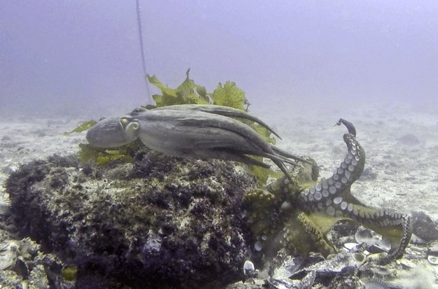 Jedna chobotnica vyhnala druhú z jej obydlia.