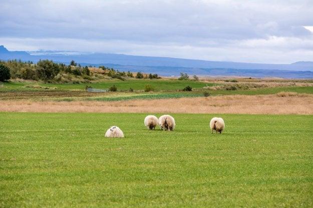 Všadeprítomné ovečky