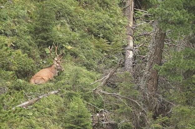 Zábery z divokej tatranskej prírody spod Kriváňa. Ukazujú život tajuplného lesa a jeho obyvateľov vrátane medvedej rodinky či jeleňov a sovy.