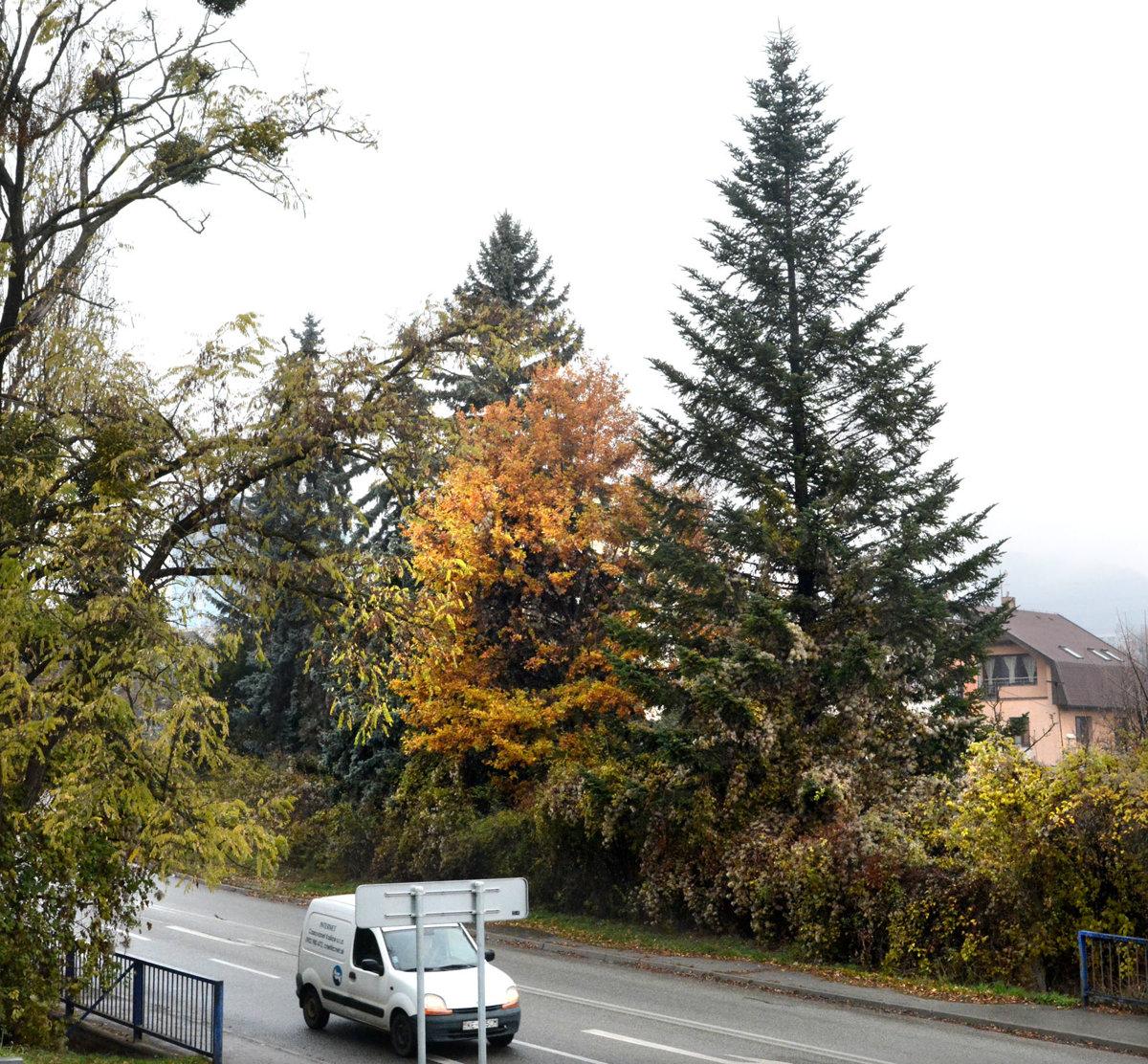 883534225 Košický strom ešte rastie priamo v meste. Ako bude vyzerať na Hlavnej,  uvidíme budúcu