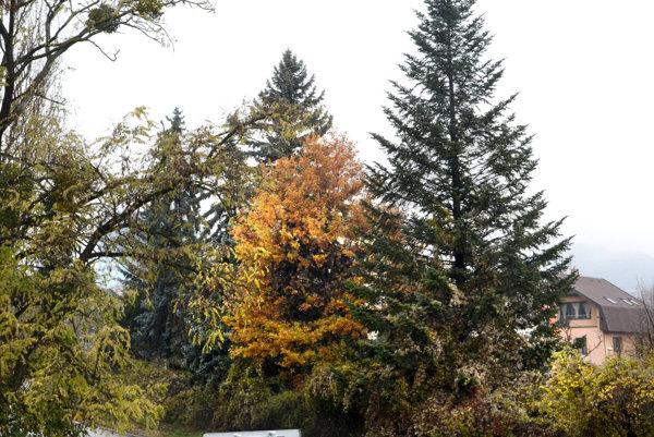 Košický strom ešte rastie priamo v meste. Ako bude vyzerať na Hlavnej, uvidíme budúcu nedeľu.