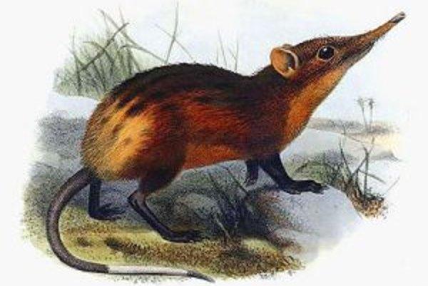 Zvieratká s chobotom vážia okolo 700 gramov a sú asi o štvrtinu ťažšie ako doteraz známy druh Rhynchocyon chrysopygus (na snímke)