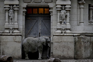 Pupy, africký slon, stojí vo vchode do pavilónu v bývalej mestskej zoologickej záhrade, dnes známej ako Eco Parque v Buenos Aires v Argentíne.