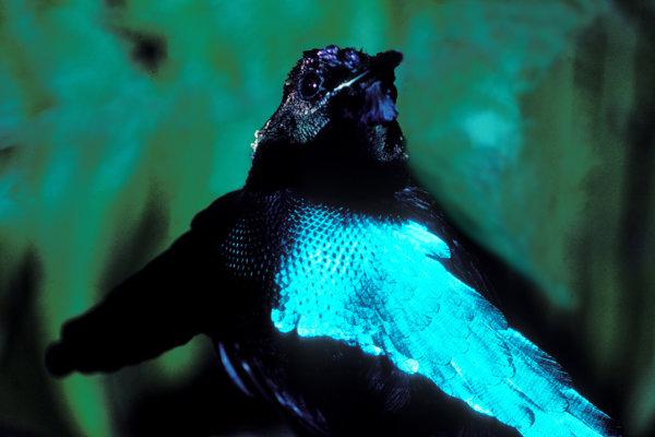 Lophorina superba, ktorej modré pierka vynikajú na super-čiernom perí.
