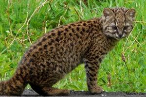 Mačka tmavá - Leopardus guigna. Dĺžka: 37 až 51 centimetrov.