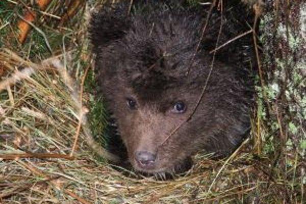 Medvieďa potrebuje v prírode pokoj. V jeho blízkosti sa takmer vždy nachádza aj matka