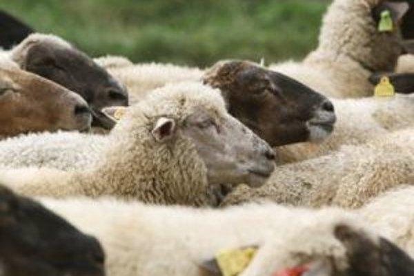 Ovčie a kozie mlieko je zdravé, treba však dodržať hygienické zásady