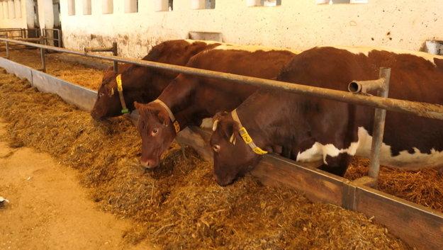 Pinzgauské kravy v Liptovskej Porúbke