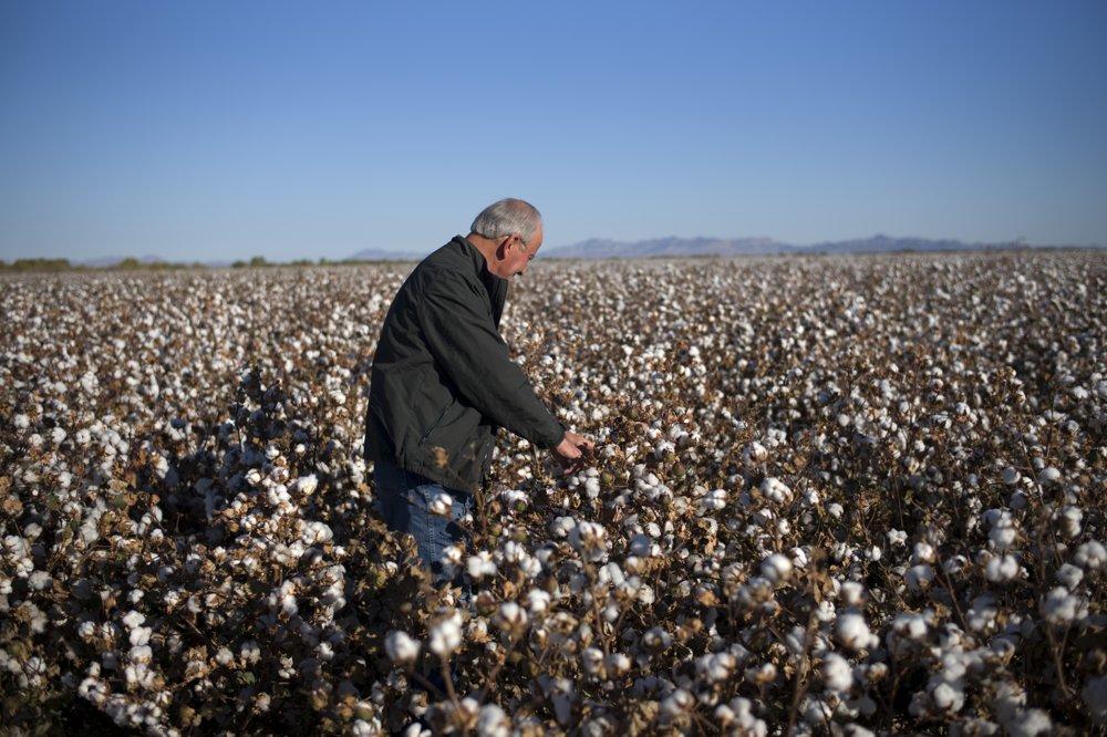 Pestovanie bavlny.
