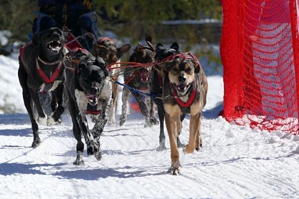 Súťažiace psi počas Medzinárodných majstrovstiev Slovenska psích záprahov.