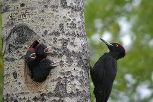 Rodičia v prvých dňoch kŕmia mláďatá takmer nasilu, neskôr už malé ďatle vystrkujú hladné zobáčiky z hniezda.