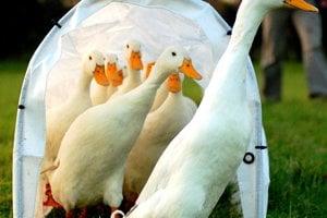 Žiadne vtáky neuvoľňujú vetry, Ich tráviaci systém nemá potrebné baktérie. Anatomicky sú však na to uspôsobené.