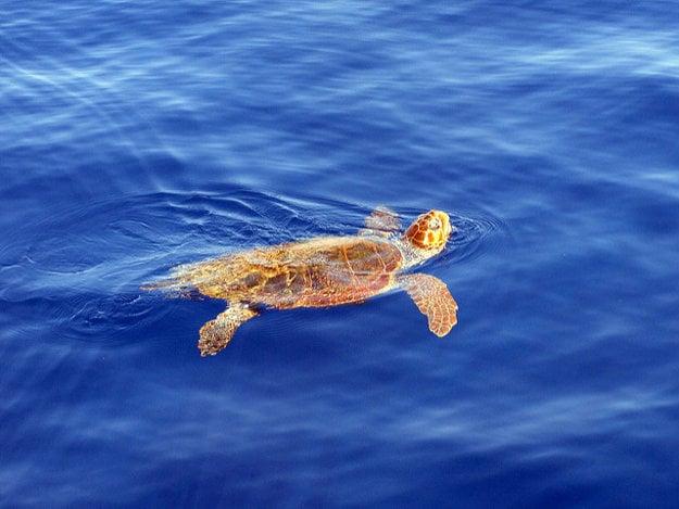 So Zakynthosom sú úzko spojené aj morské korytnačky.