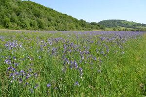 Na Hostovických lúkach kvitnú tisícky vzácnych kosatcov.