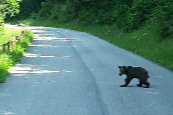 Medvedík prechádzal cez cestu v dopoludňajších hodinách.