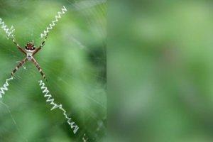 Niektoré križiaky si robia na pavučine cikcakové, špirálové či iné znaky. Vzorce slúžia zrejme na to, aby do vtáky nevleteli do pavučiny. Vľavo je zobrazené ako ich vidia vtáky a vpravo, ako ich vidia muchy - budúce koristi pavúka.