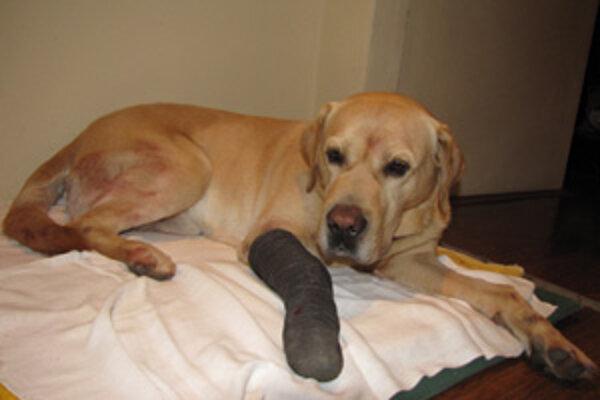 Zrazený labrador mal šťastie. Postarali sa oňho manželia zo Žiliny a majiteľ si ho našiel.
