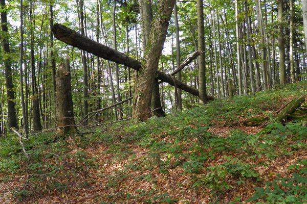 Stužický prales