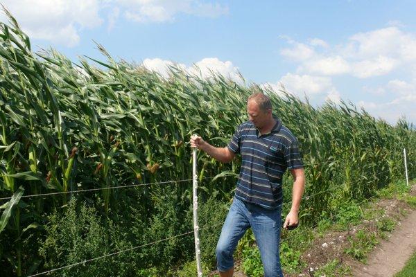 Kukurica pri Blatnici vyzerá nádejne, úroda by podľa agronóma Ivana Bondu mohla byť lepšia ako vlani.