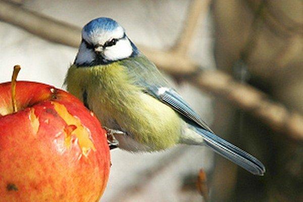 Aj jabĺčko je obľúbeným zdrojom potravy našich drobných vtákov.