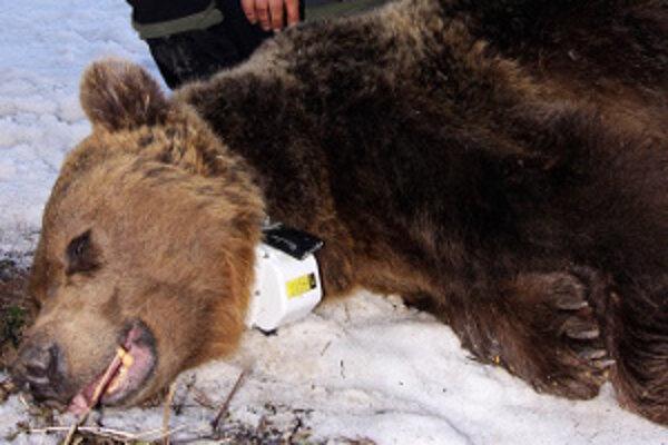 Medveďa ochranári uspali len na pá hodín, aby mu bezpečne nasadili telemetrický obojok.