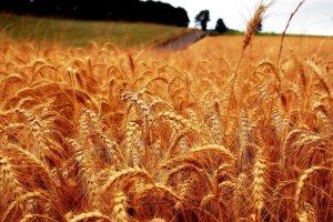 Pšenica, ktorá rastie v miernom pásme, patrí k plodinám, ktoré kvôli globálnemu otepľovaniu najviac postihnú škodce.