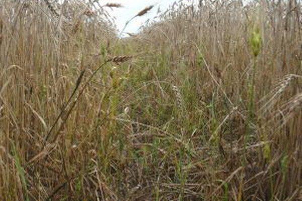 Zber úrody v Turci brzdí zlé počasie, polia sú podmočené.